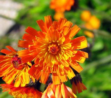 Habichtskraut Blume