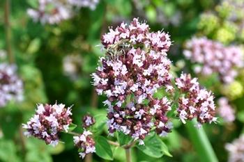 Oregano-Blüte