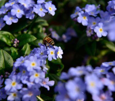 Biene sitzt auf einer kleinen lila Blume