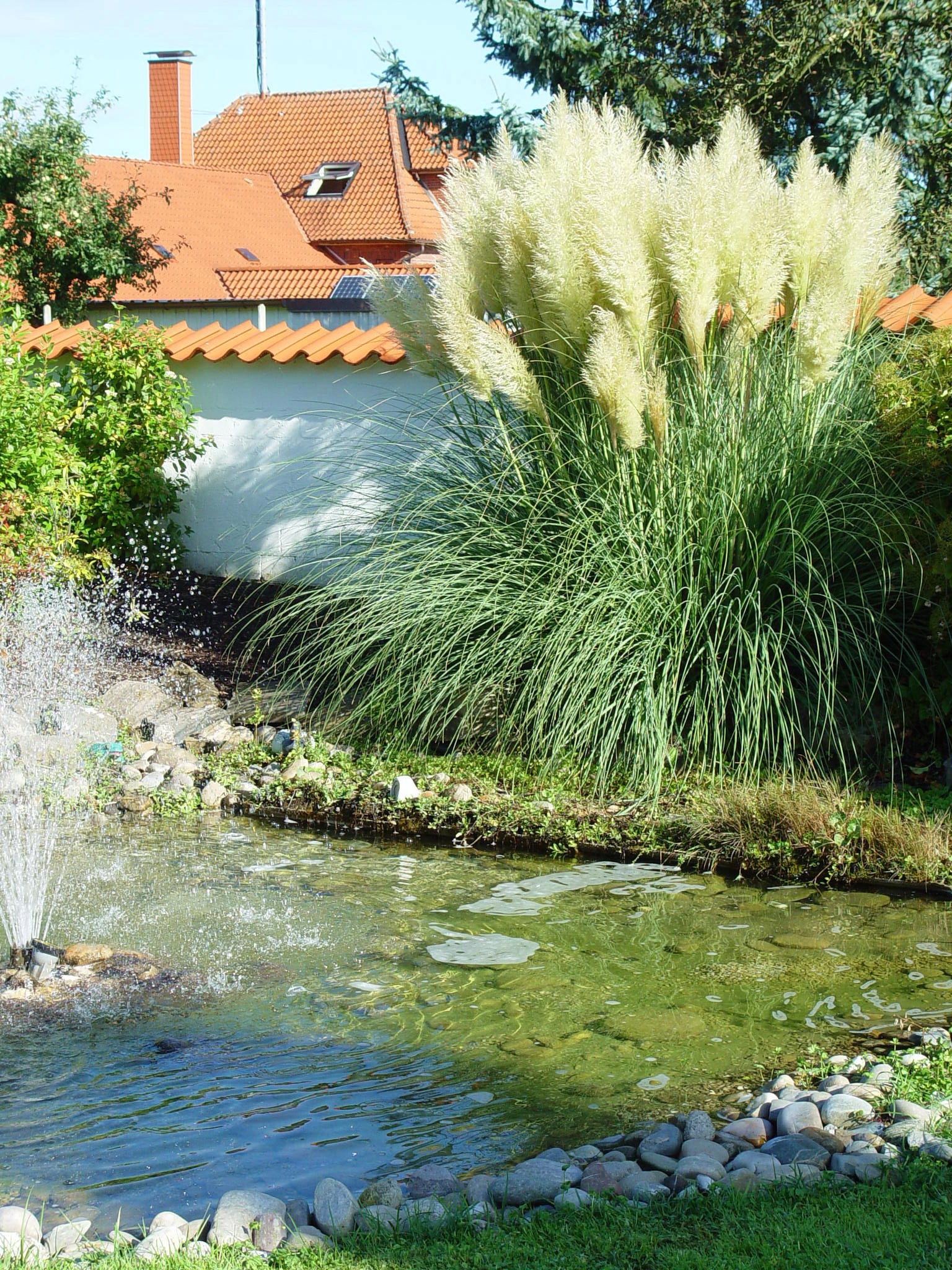 Fabelhaft Majestätischer Auftritt: Rauschendes Schilf im Garten   Bayern blüht #RP_31