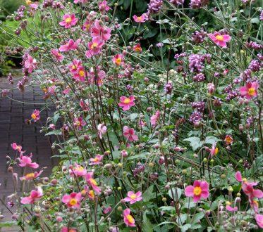 Herbstanemonen im Garten