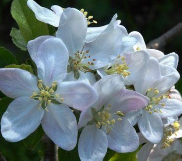 Apfelblüten am Baum