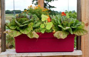 Ein mit Salat und Blumen bepflanzter Übertopf auf einer Fensterbank.